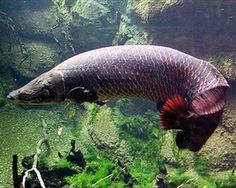 Arapaima gigas,Arapaima gigasSpecies Profile, Arapaima gigas Care Instructions, Arapaima gigas Feeding and more.::Aquarium Domain.com