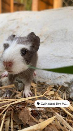Super Cute Animals, Cute Funny Animals, Cute Baby Animals, Baby Guinea Pigs, Guinea Pig Care, C&c Cage, Mako Mermaids, Hamsters, Rodents