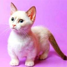 How can you resist this little Munchkin cat! It's so adorable!