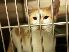 MAX - ID#A462158 - Harris County Animal Shelter in Houston, Texas - 3 year old Neutered Male Domestic Longhair - at the shelter since Jun 21, 2016.