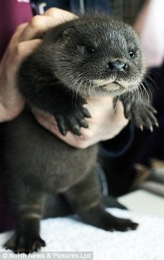 Orphaned Baby Otter Rescued by Amazing Dog Walkers (PHOTOS)