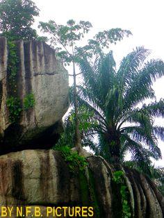 Arbuste ayant fondé ses racines sur de la roche...Nkolandom-Cameroun