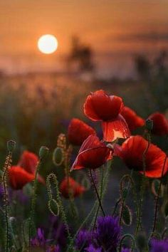 Poppy Sunset by Victor Lebed Amazing Flowers, Beautiful Roses, Wild Flowers, Beautiful Flowers, Flower Images, Flower Art, Nature Pictures, Beautiful Pictures, Spring Scenery