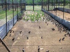 Growing quail in flight pen
