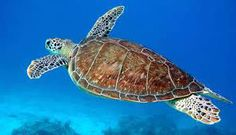 Las tortugas marinas y sus hábitats costeros están amenazadas por el aumento del nivel del mar como consecuencia del cambio climático.