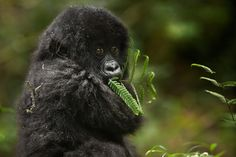 Close Encounter With a Mountain Gorilla - African Safari Consultants Animals And Pets, Baby Animals, Cute Animals, Nature Animals, African Animals, African Safari, Animal Kingdom, Types Of Monkeys, Cutest Animals