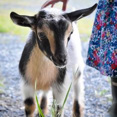 So sweet. Nigerian Dwarf Goats, Cute Goats, Farm Kids, Animal Magnetism, Goat Farming, Sinbad, Baby Goats, Small Farm, My Spirit Animal