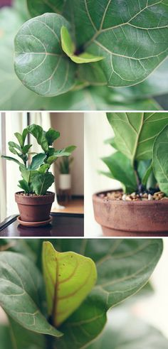 Fiddle Fig Trees are a cute name for the FICUS. A once laughed at indoor plant, come back around like the high-waisted jean. Ficus, Outdoor Plants, Outdoor Gardens, Fiddle Leaf Fig Tree, Plants Are Friends, Love Garden, Cactus Y Suculentas, Foliage Plants, Indoor Garden