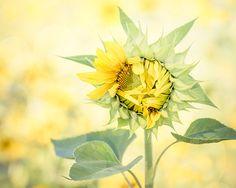 Sunflower Picture Yellow Flower Photograph Sunflower Print