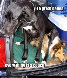 great dane funny | Has A Hotdog - great dane - Page 10 - Loldogs n Cute Puppies - funny ...