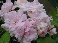 Geranium Rokokoo - kuten ruusuja kukkaruukku
