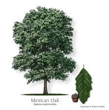 monterrey oak - Google Search