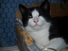 Petunia is an adoptable Domestic Short Hair-Black And White Cat in Fairbanks, AK. Petunia is a young cat. She is under a year old. She was a stray that nobody claimed. She is great with kids, other cats, and dogs!!! She is amazing.