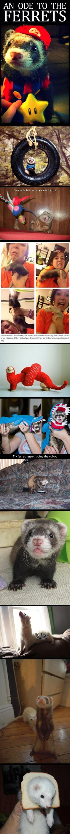 Here are some of the internet's most popular ferrets in random situations.