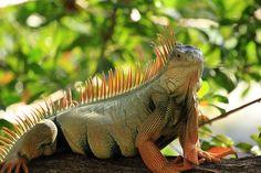 WiId Green Iguana, via Flickr.