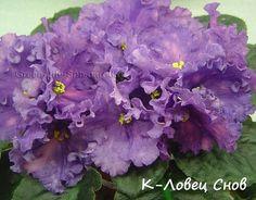 К-Ловец Снов (Крайдуба).  Крупные чашевидные яркие цветы со всполохами розового и синего на маленькой темной розетке, листья темные с красной изнанкой. Цветет часто, яркий. (Чужое фото)