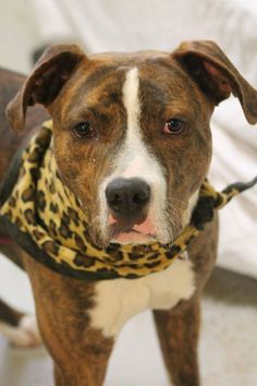 ADOPTED>NAME: Tanner  ANIMAL ID: 30807793 BREED: Pit mix  SEX: male (neutered)  EST. AGE: 1 yr  Est Weight: 53 lbs  Health: heartworm neg  Temperament: dog friendly people friendly  ADDITIONAL INFO: RESCUE PULL FEE: $35  Intake date: 3/30  Available: Now