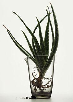 Peter Lippmann :: photographer :: MEDICINAL PLANTS 1 /