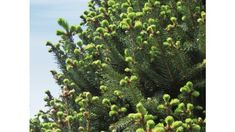 Picea Picea Abies, Norway Spruce, Trees And Shrubs, Photo Credit, Blue Green, Garden, Garten, Duck Egg Blue, Lawn And Garden