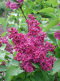 Duftsyrin 'Andenken Ludwig Späth'  Vekst  Dette er en busk med opprett og kraftig vekst. Plantehøyden er ca. 3 m. Det er tidlig bladsprett.     Blomst  Planten har rødlige knopper. Den har store, mørkt lilla-røde, enkle blomster i opptil 30 cm lange, opprette klaser. De dufter. Det er blomstring i mai–juni.     Bruk  Arten brukes som fri hekk, som frittstående, i grupper og som støyskjerm. Blomstergreiner kan drives fra januar.
