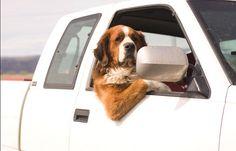 Dog in car window