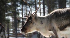 Female reindeer in Pello in Lapland