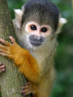 If it was in the best interest of the animal, I would LOVE to have a pet monkey but since we are dreaming here, it would be and I would have a pet monkey!