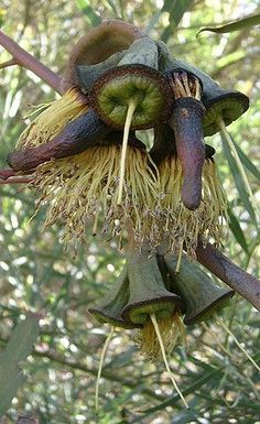 Image result for gumnut seed pod Weird Plants, Unusual Plants, Exotic Plants, Poppy Photo, Australian Wildflowers, Unusual Flowers, Seed Pods, Jolie Photo, Patterns In Nature