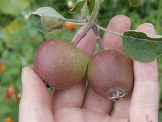 Al menos tendremos dos manzanas. Los árboles frutales que hemos plantado son muy jóvenes aún.