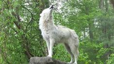 What 30 Wolves Howling Sounds Like