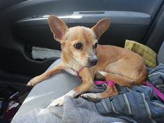 Found Dog - Chihuahua Short Haired - Scottsdale, AZ, United States 85251 on April 08, 2015 (07:30 AM)