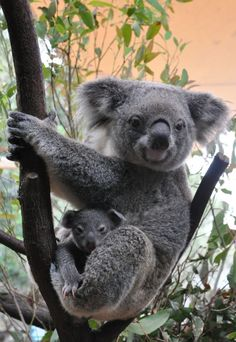Koala Joeys Galore for Australia's Dreamworld