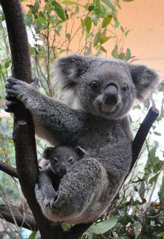 Koala Joeys Galore for Australia's Dreamworld