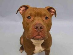 Manhattan Center CASSIA – A1062458 FEMALE, BROWN, STAFFORDSHIRE MIX, 3 yrs STRAY – STRAY WAIT, NO HOLD Reason STRAY Intake condition UNSPECIFIE Intake Date 01/07/2016, From NY 10040, DueOut Date 01/10/2016 Urgent Pets on Death Row, Inc