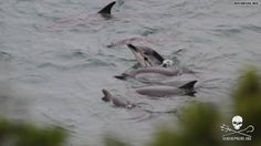 The killing of dolphins continues in Taiji, Japan. Boats herd whole pods into 'the cove' where many are either taken for captivity or slaughtered. The organization, Sea Shepherd, estimates more than 800 dolphins have been killed since Sept. 1. Sam Simon, TV executive, co-creator of the iconic show 'The Simpsons', and hero to animal advocates is now in Taiji with Sea Shepherd.
