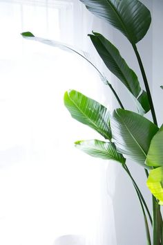 Top 5 easy care tips or house plants - making sure you are on your way to an indoor green jungle. Top 5 easy care tips or house plants - making sure you are on your way to an indoor green jungle. Indoor Trees, Indoor Plants, Green Plants, Tropical Plants, Plants Are Friends, Plant Wallpaper, Plant Aesthetic, Green Life, Indoor Garden