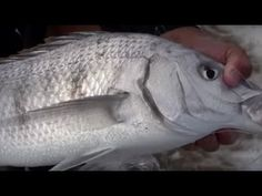 ASFN Rock & Surf - Kabeljous Beach Jeffreys fishing for White Steenbrass & Cob - YouTube How To Catch Crappie, Fishing Techniques, Crappie Fishing, Insta Pictures, Cob, Sunny Days, Surfing, Fall, Beach