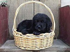 Breez, Bernese Golden Mountain Dog puppy for sale in Pottstown, Pa
