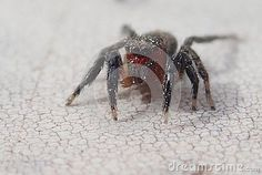 Photo about A red face jumping spider waiting. Image of arthropod, fauna, arachnid - 102875293 Jumping Spider, Red Face, Waiting, Animals, Image, Insects, Animales, Animaux, Animal