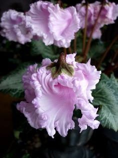 cyclamen that looks like that?