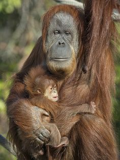 Orangutan mom Indah & her baby girl Aisha hanging out in the warm San Diego sun.