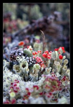 Mix of Reindeer Lichen, Cladonia and various mosses on the ...