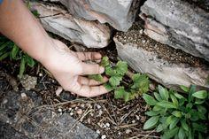 ...dalla semplicità nascono le grandi emozioni www.meteri.it How To Dry Basil, Herbs, Herb, Medicinal Plants