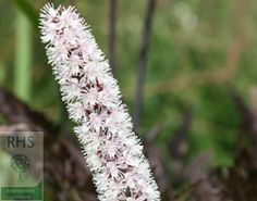 Actaea simplex 'Pink Spike', bugbane (syn. Cimicifuga).  A dramatic, tall perennial, this is particularly useful plant because it comes into its own late in the season, when many flowers have finished, and because it thrives in damp shade. The slender, bottlebrush-like flowers emerge in autumn from their buds a pale pink, but deepen in colour as they age. When mature, they turn a rich, dark pink. The flowers are heavily scented and are a magnet for butterflies.