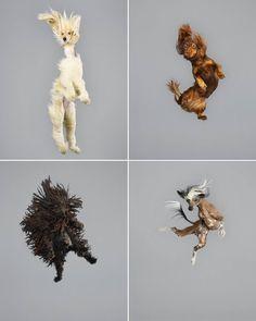 Funny Jumping Dogs Series. À la manière de Tomas Januska, la photographe allemande Julia Christe a réussi à capturer les postures amusantes de chiens en plein saut. Avec une vision décalée, l'artiste met en scène une dizaine de chiens différents, petits et grands, imposants, élancés ou très poilus. Une série étonnante à découvrir dans la suite et rappelant le clip réalisé par Pleix pour le titre 'Poney, Part1' de Vitalic https://vimeo.com/42286041