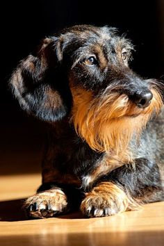 Great photo of a Wirehaired Dachshund. Weenie Dogs, Pet Dogs, Dog Cat, Cute Puppies, Dogs And Puppies, Dog Zodiac, Animal Gato, Dachshund Love, Daschund