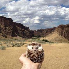 Hedgehog Supersta  animalsofinstagram-1_87135_600x450.jpg