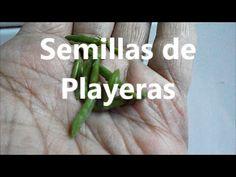 Semillas de Playeras