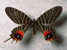 Mariposa exótica .