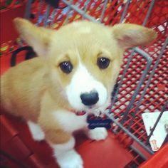 Corgi puppy :)